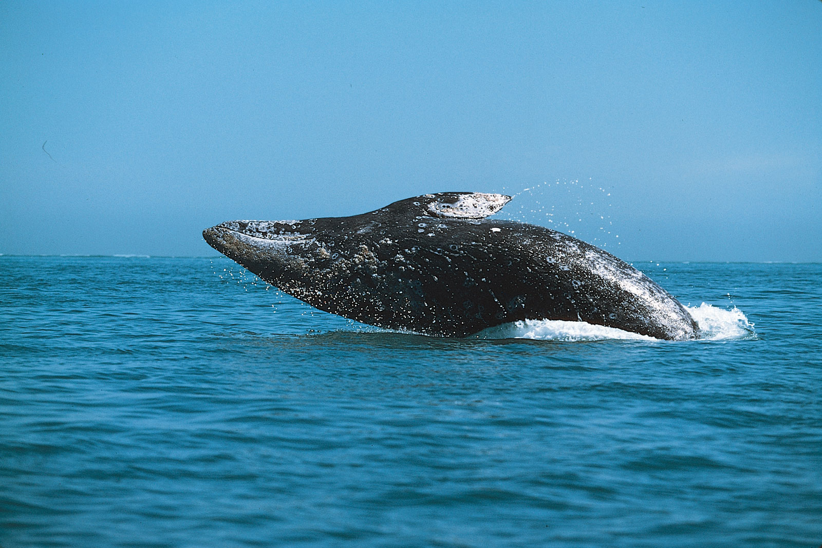 the extinction of the grey whale