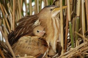Самка малой выпи с птенцом