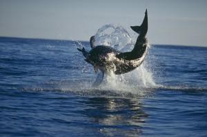 Большая белая акула в прыжке хватает добычу