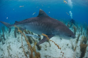 Тигровая акула кажется медлительной, но это впечатление обманчиво