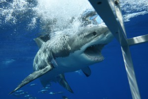 Акула атакует клетку