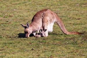 Большой серый кенгуру