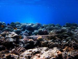 Syngnathus и Neropsis - 2 рода морских игл