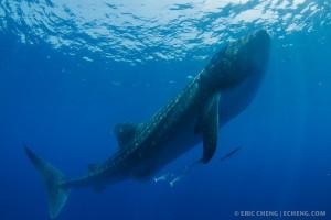 Огромное тело китовой акулы