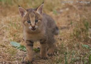 Котенок камышового кота