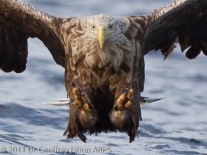 Когти орлана очень велики