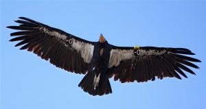 Калифорнийский кондор в полете