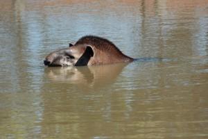 Равнинный тапир любит поплавать