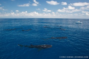 Скопление акул у поверхности воды на кормежке