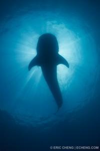 Силуэт акулы у поверхности воды