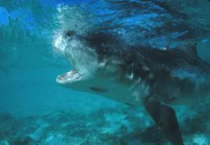 Тигровая акула атакует