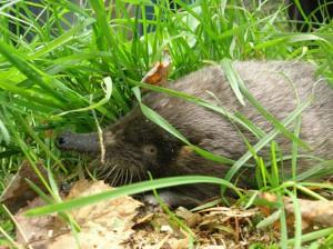 Выхухоль в траве
