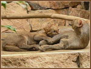 Пара ягуарунди на отдыхе
