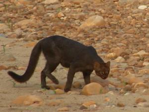 Felis yaguarondi