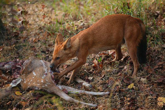 Красный волк поедает оленя