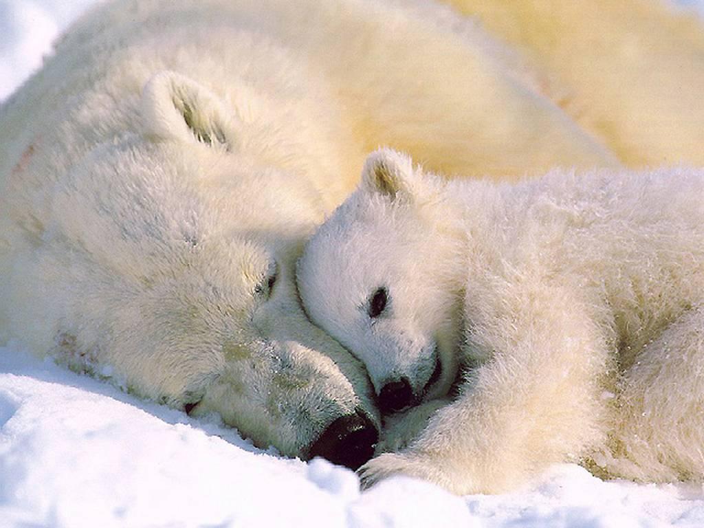 Ursus maritimus с медвежонком