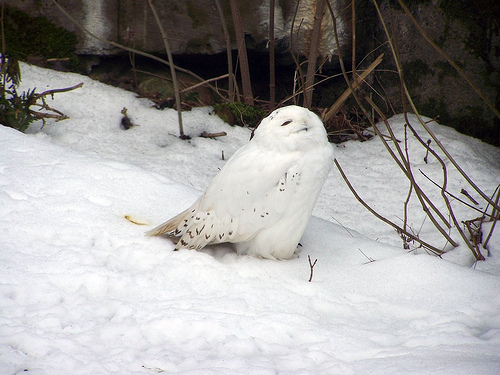 Белая сова