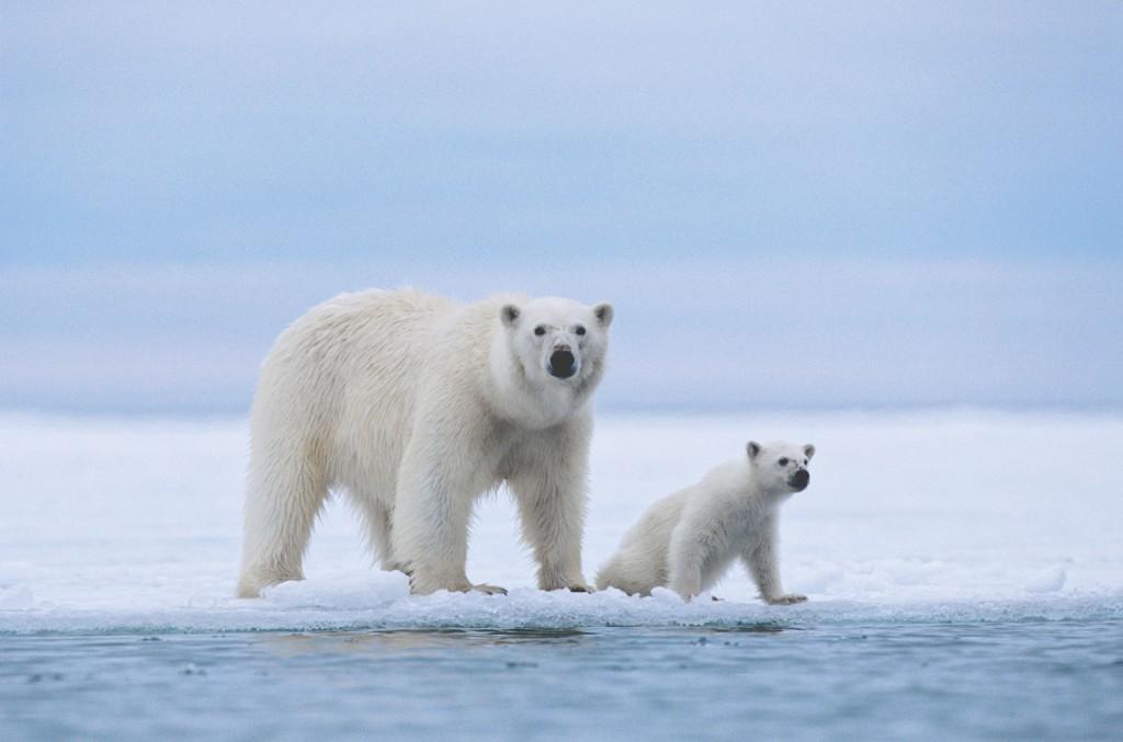 Самка полярного медведя с детенышем