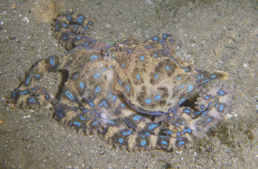Синий кольчатый осьминог на морском дне