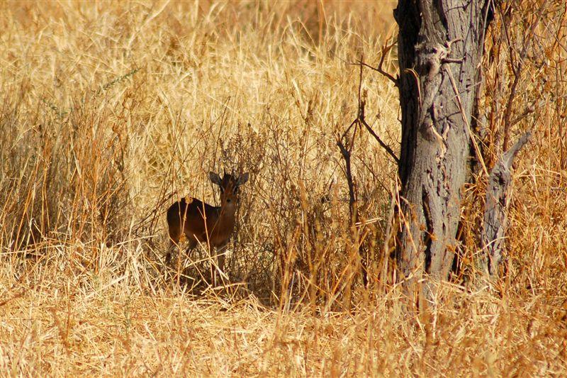 Дикдик Кирка в естественной среде обитания