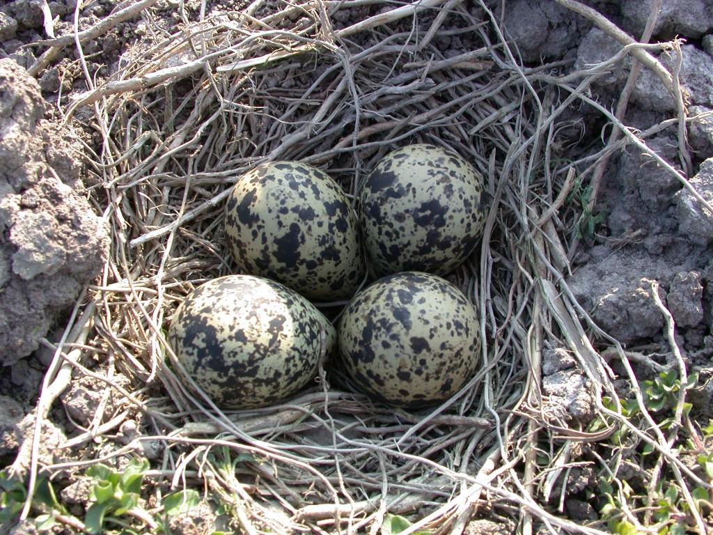 Гнездо чибиса с кладкой яиц