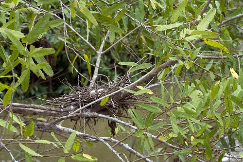 Гнездо гоацина