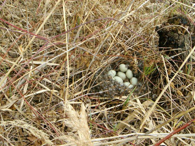 Гнездо кряквы в зарослях камыша