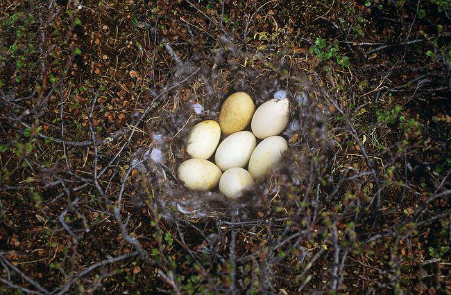 Гнездо краснозобой казарки с кладкой яиц