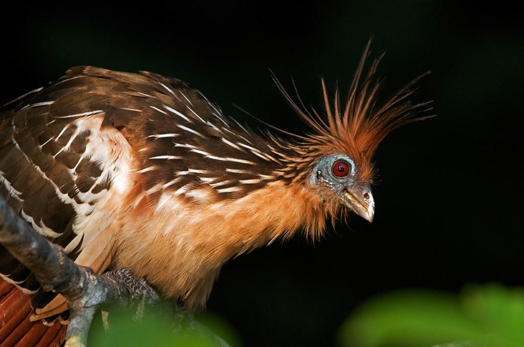 Opisthocomus hoatzin в близи