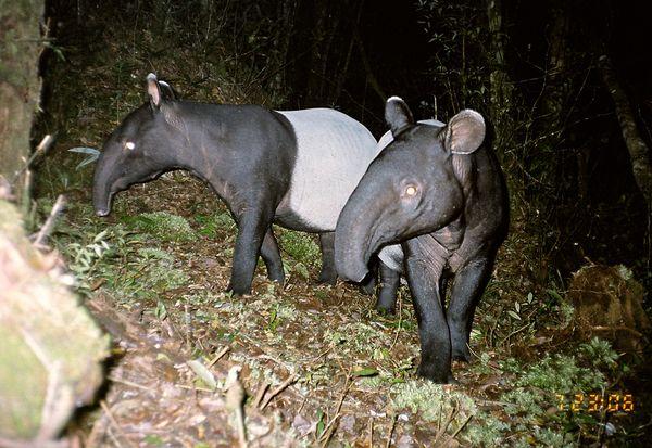 Пара малайских тапиров