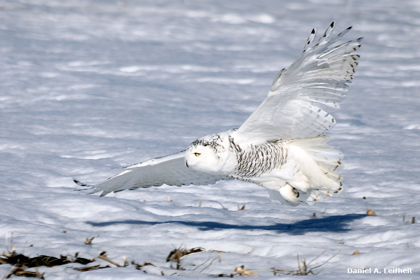 Полярная сова в полете