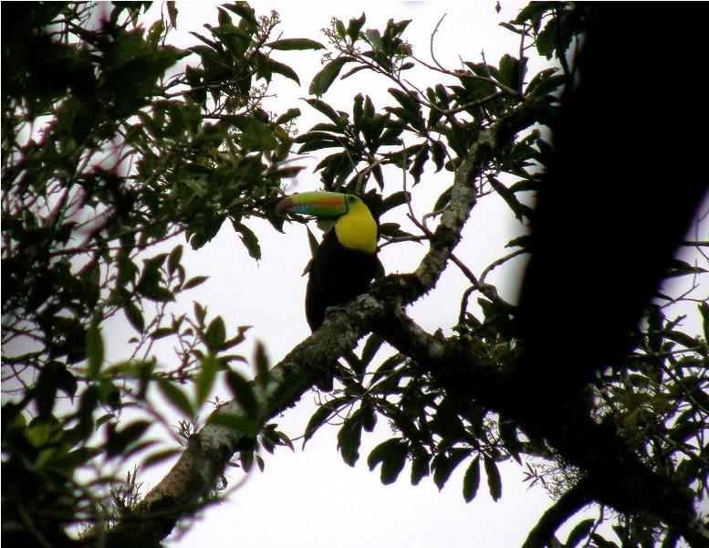 Радужный тукан в лестве джунглей