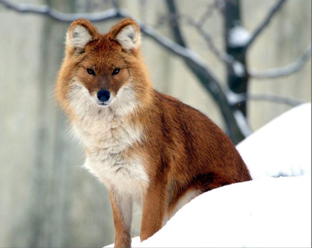Горный волк в зимнем наряде