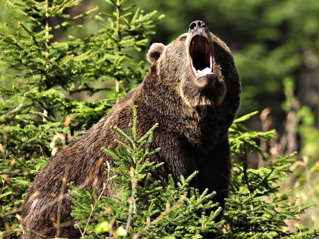 Самец бурого медведя