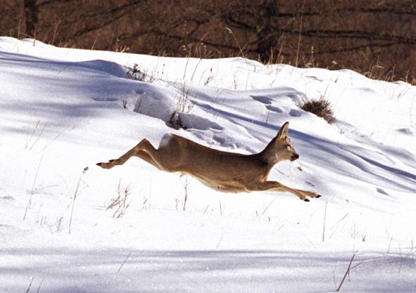 Capreolus pygargus в прыжке