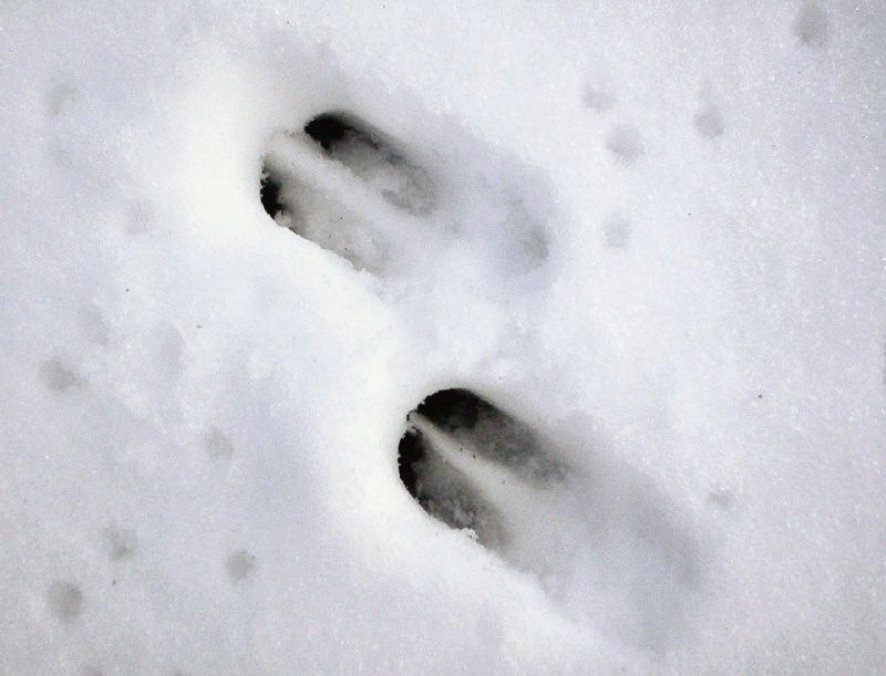 Следы сибирской косули на снегу