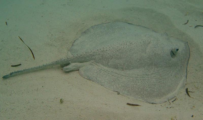 Мраморный скат торпедо зарывается в песок