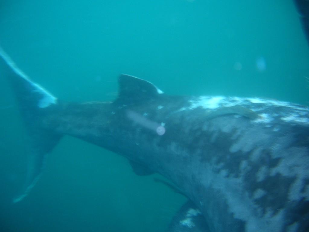 Задняя часть туловища гигантской акулы