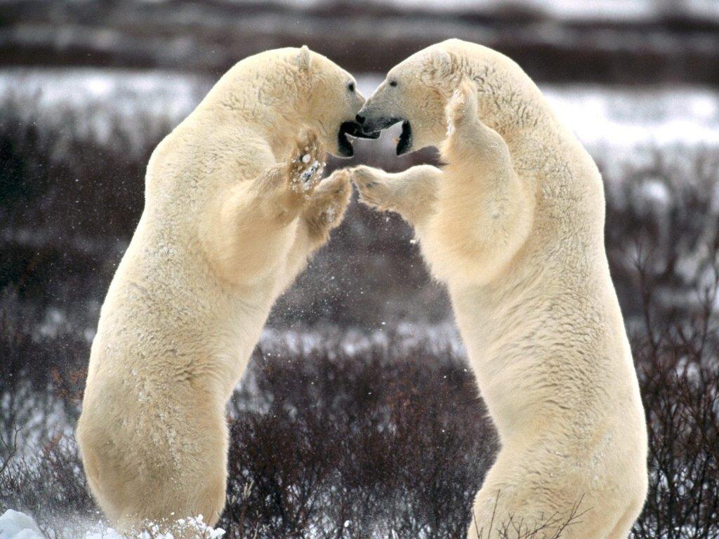 Самцы белого медведя в схватке за самку