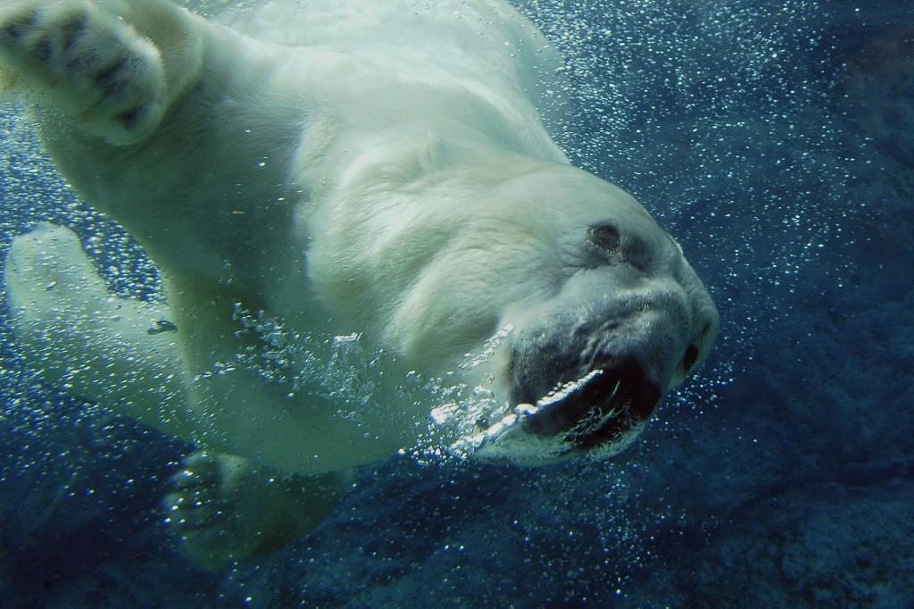 Белый медведь ныряет в воду