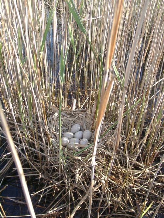 Гнездо и яйца лысухи