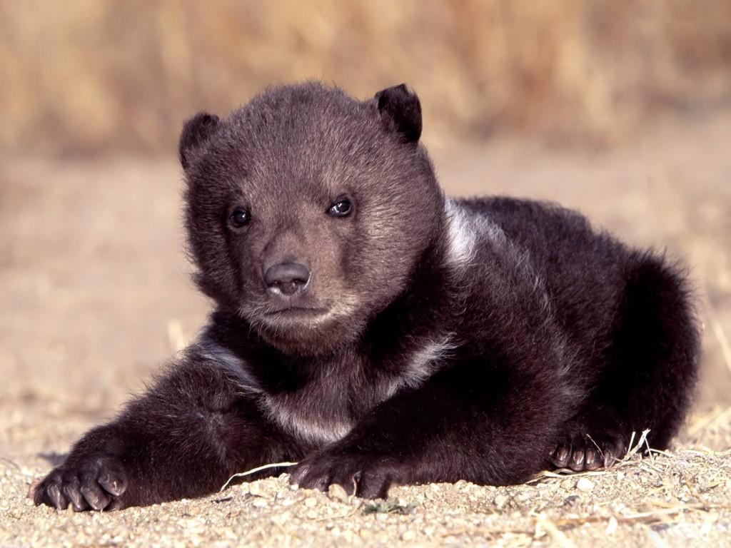 Медвежонок барибала