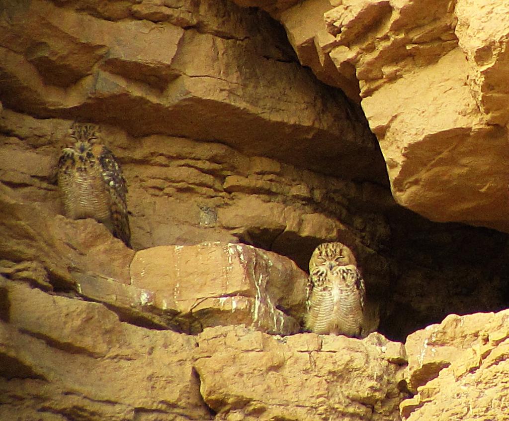 Пара пустынных филинов