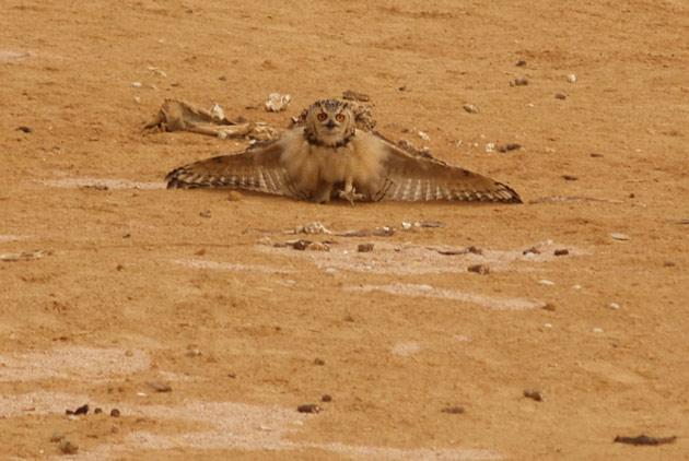 Пустынный филин в защитной позе