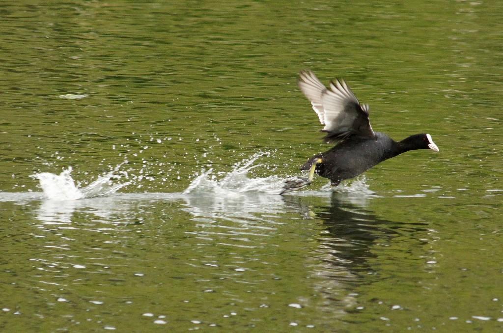 Взлет лысухи с водоема