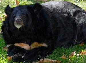 Черный или белогрудый медведь