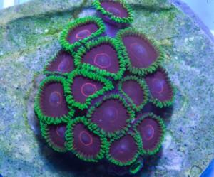 Коралл Palythoa
