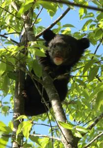 Медвежонок гималайского медведя