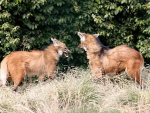 Пара гривистых волков
