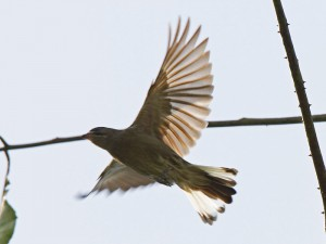 Thick-billed Honeyguide